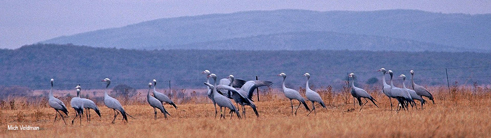 Blue Cranes in the Waterberg