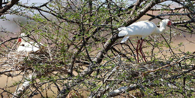 African Spoonbill on nests