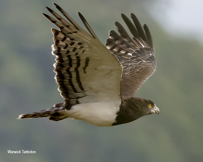 Black-chested Snake Eagle in flight