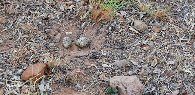 Spotted Thick-knee nest