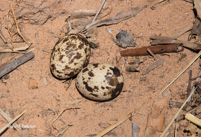 Water Thick-knee nest