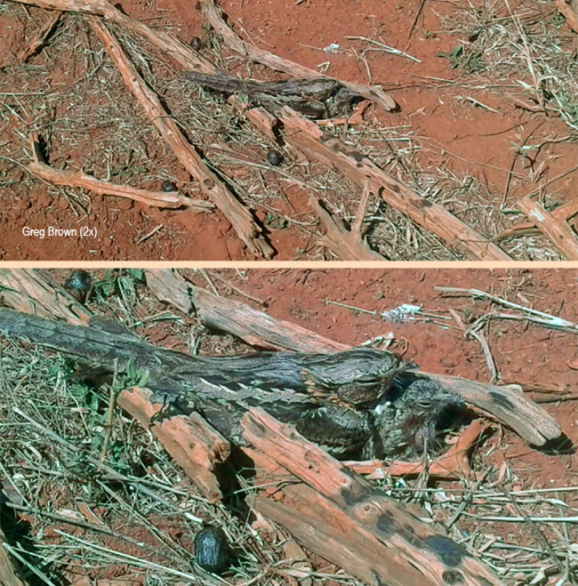 Rufous-cheeked Nightjar with chick