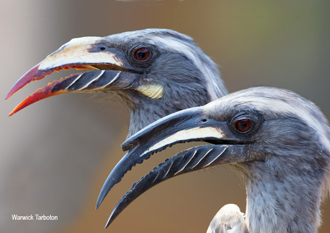 African Grey Hornbill female and male