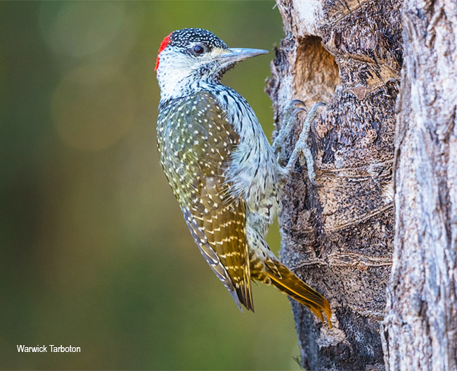 Golden-tailed Woodpecker