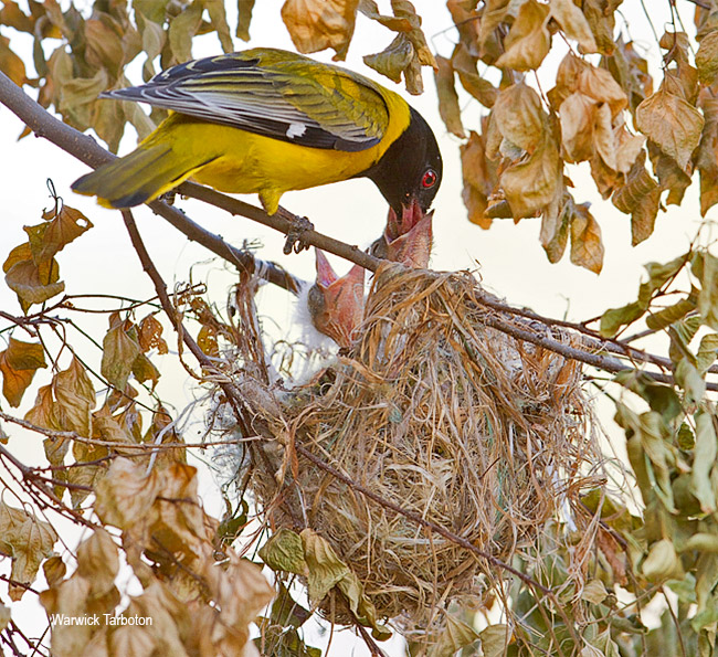 Black-headed Oriole nest