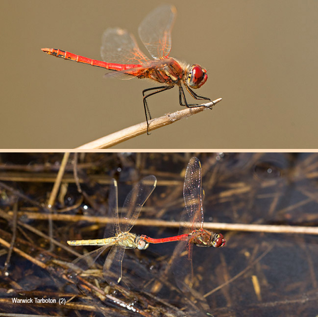 Dragonfly, Sympetrum fonscolombii