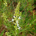 Syncolostemon linearis