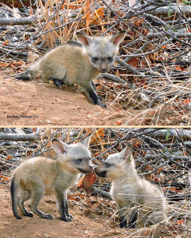 Bat-eared fox pups