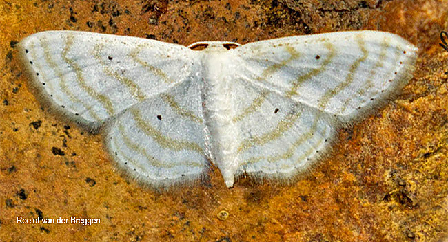 Scopula penultima