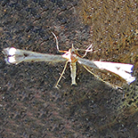 Pterophorus species