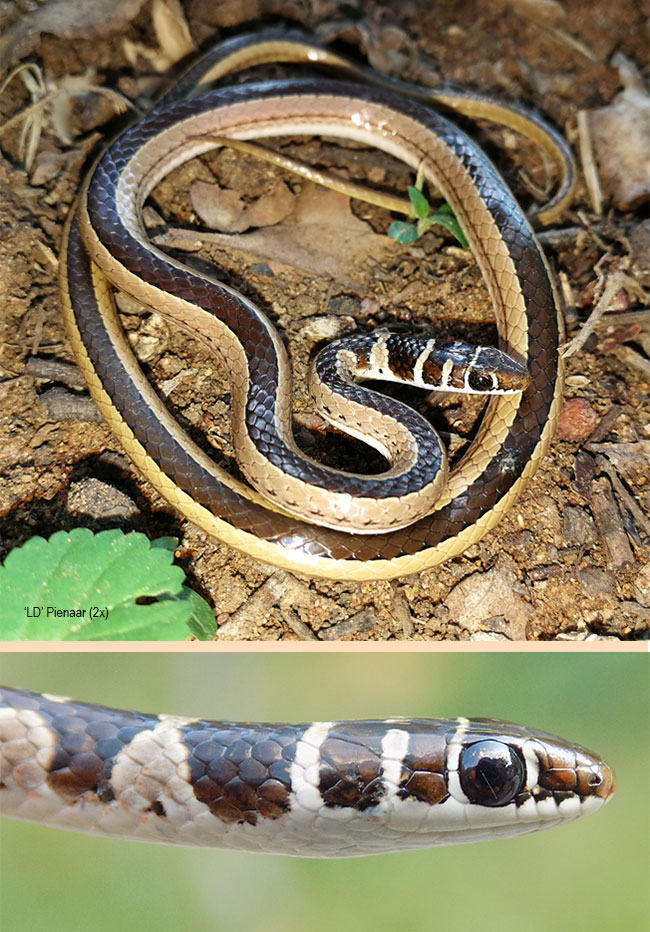 Psammophis angolensis