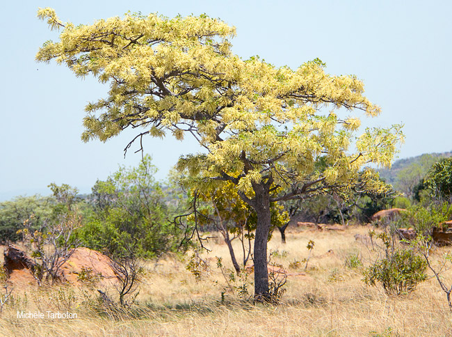 Burkea africana in flower
