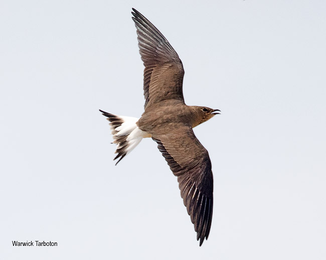 Black-winged Pratincole in flight