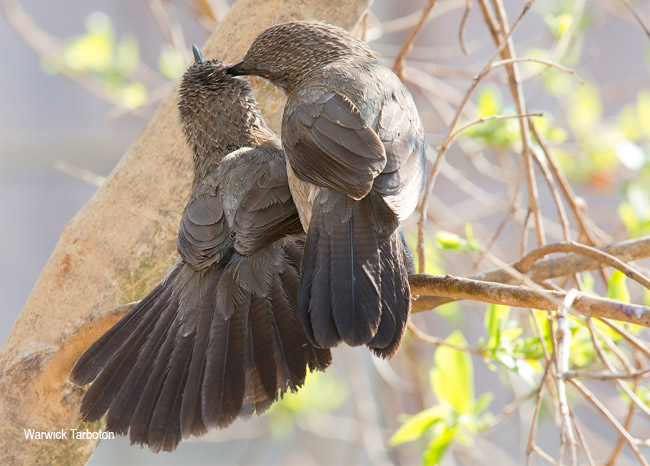 Arrow-marked Babblers preening