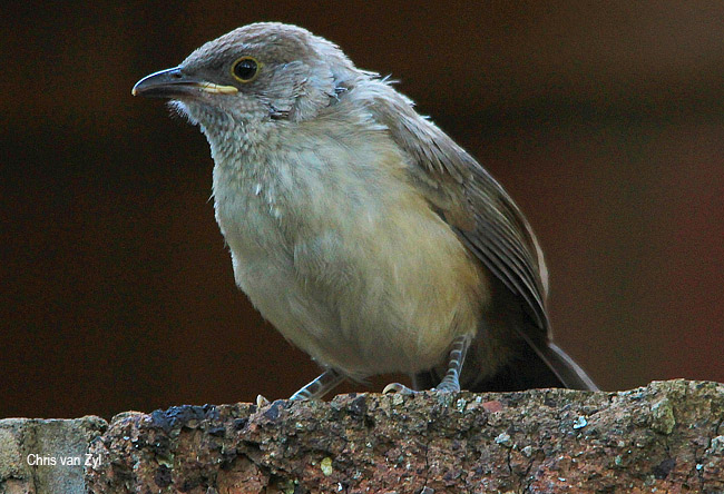 Arrow-marked Babbler juvenile