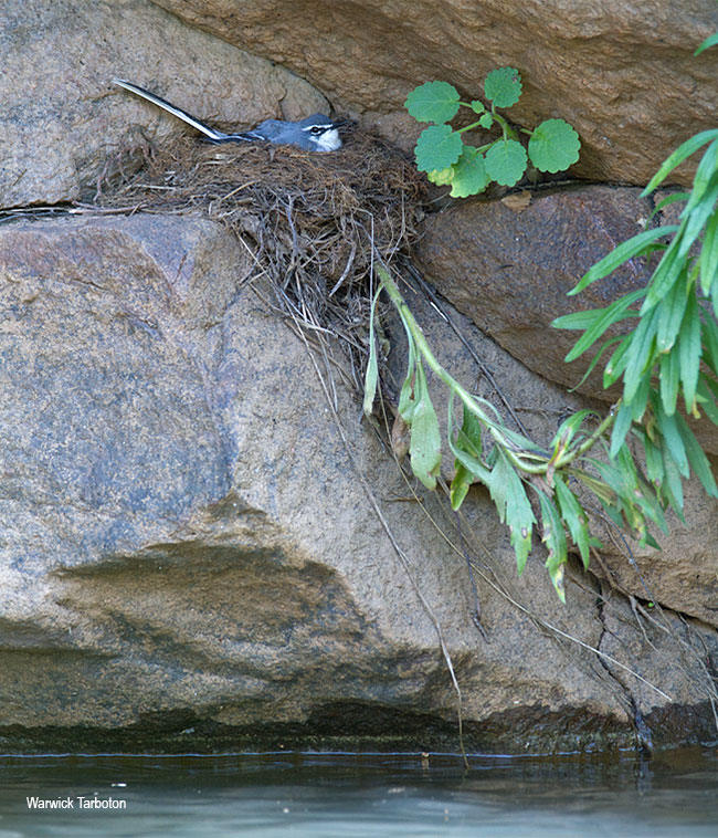 Mountain Wagtail nest
