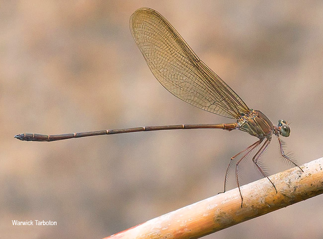 Damselfly, Phaon iridipennis