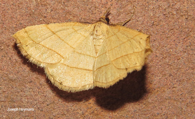 Scopula straminea